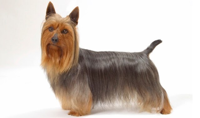 Something You dont know about Silky Terrier Pet Dogs