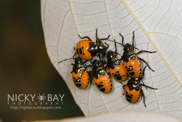 Shield-Backed Bugs (Scutelleridae) - DSC_8599
