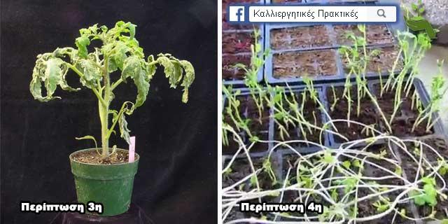 Τα πιο κοινά προβλήματα φύτρωσης των σπόρων - Καχεκτική ανάπτυξη, σχοινοειδής ανάπτυξη