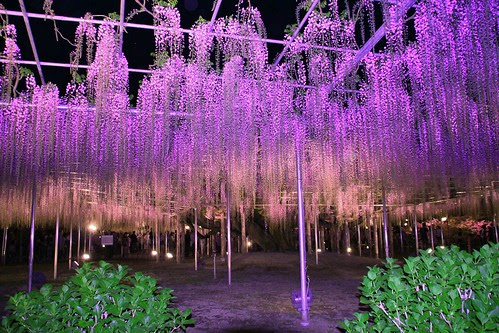 Wisteria floral, Flor de Fuji,ふじのはな物語
