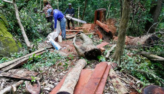 People illegally log rosewood at a small clearing in the north of the Kingdom in 2014.