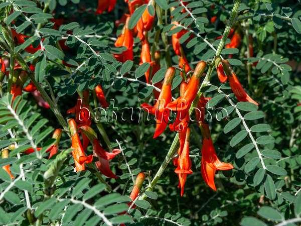 http://www.botanikfoto.com/preview/cancer-bush-sutherlandia-frutescens-436076.jpg