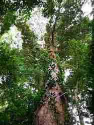Mengenal Pohon Kapur Penghasil Kapur Barus