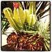 cactiblooms
