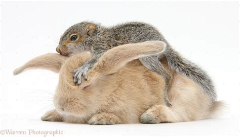 Young Grey Squirrel and sandy rabbit photo   WP34580