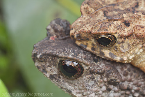 toads mating IMG_1626 copy