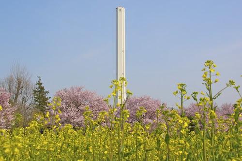 桜と菜の花と煙突と空