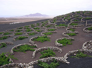 Vines growing in volcanic lapilli in the La Ge...