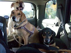 3Dogs_car_101908