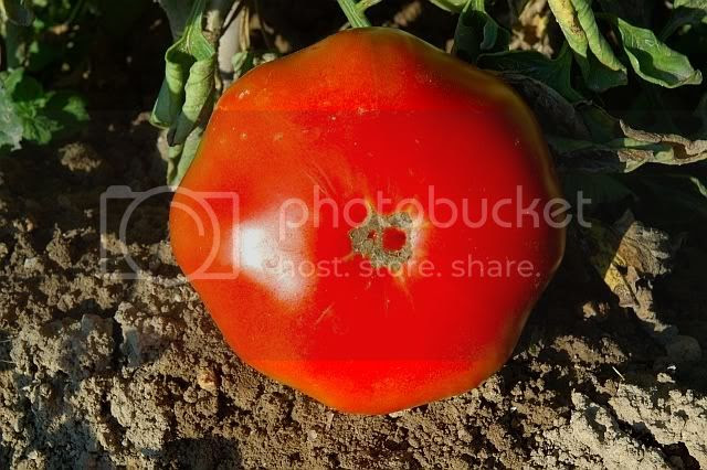 Big Ripe Tomato Under The Afternoon Sun [enlarge]
