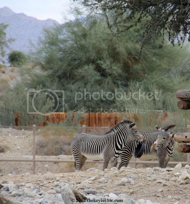 zebras at the Living Desert