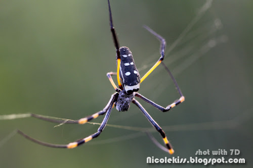 big poisonous spider
