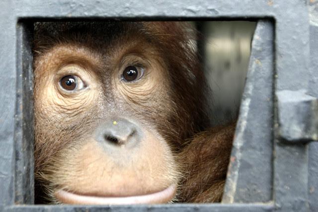Uno de los ejemplares de orangután de Sumatra liberados esta semana. / Hotli Simanjuntak