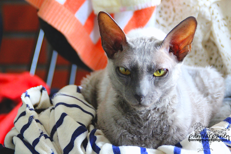 cornish rex kissa