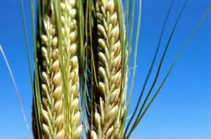 Resultado de imagem para arroz fotos