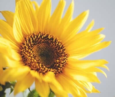 Sunflower Symbolic Meaning | Sun Signs