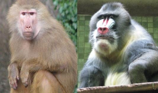 babuino e mandarin atentos ao fotógrafo