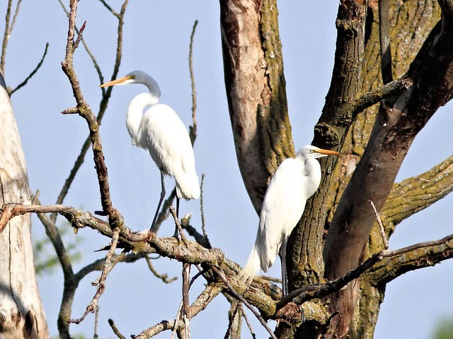 Great Egrets 2-20130507