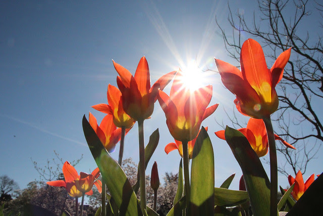 tulpen und sonne