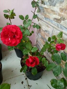 Gambar Tanaman Bunga Mawar Merah