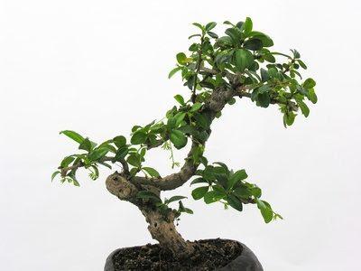 Hoe Aan Bonsai Een Jade Plant Wikisailor Com