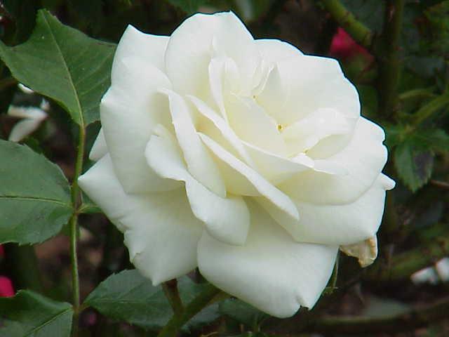 Ficheiro:Rosa sp.300.jpg