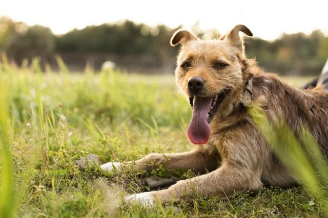 Teddy – 18 month old male Cross-Breed