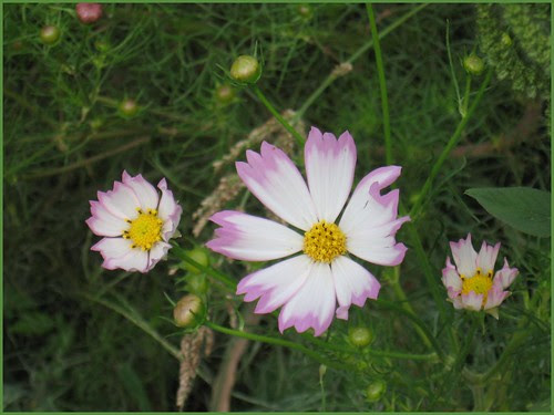 F07 pind and white cosmos