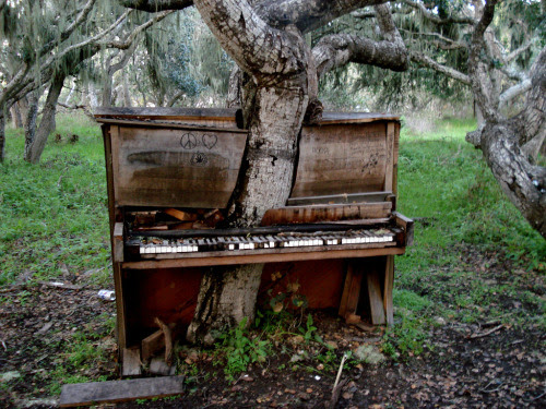 sunsurfer:  Piano Tree, Monterey, California photo by glowininja  I FOLLOW THIS GUY CUZ HE POST'S THE MOST BEAUTIFUL PICTURES. HOW DID THIS PIANO TREE HAPPEN?! APART FROM THAT PEACE SIGN IT'S SO AWESOME.