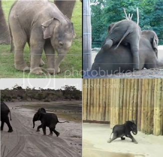 cutes-baby-elephants-videos photo cutes-baby-elephants-videoscopy.jpg
