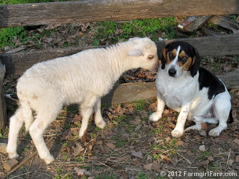 Lamb kissing Bert 2 - FarmgirlFare.com