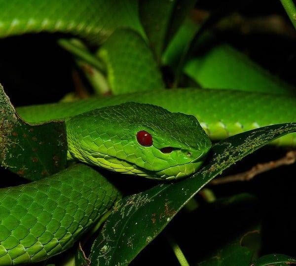 Hình ảnh Rắn lục đuôi đỏ cắn nhiều người hái cà phê ở Đắk Lắk số 1