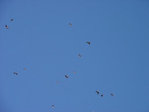 Blue Jay migration