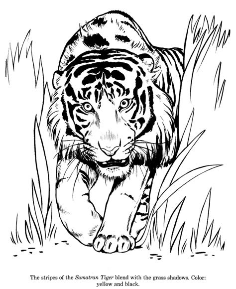 animal drawings coloring pages sumatran tiger animal