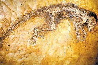 Fóssil alemão da espécie _Darwinius masillae_, apelidado de Ida, cuja ancestralidade em relação ao homem está em xeque