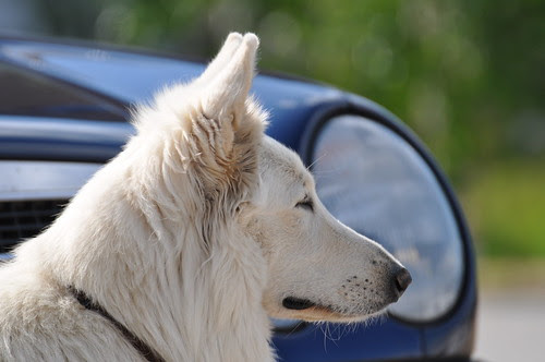 Weisser Schäferhund