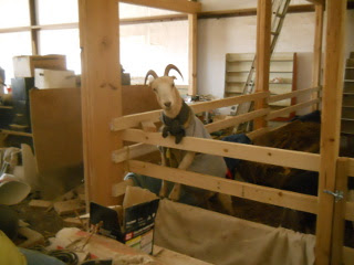 Goat Climbed Up Barn Animal Stall Wall Looking Over