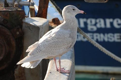 glaucous gull1