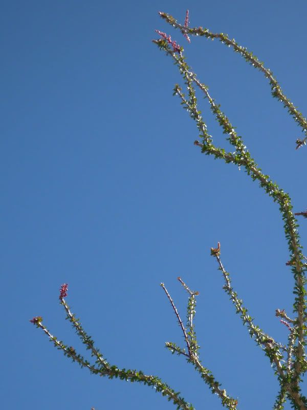 Red Ocotillo
