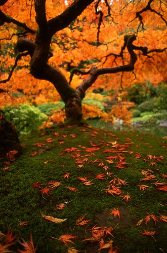 Autumnal Maple por Zeb Andrews