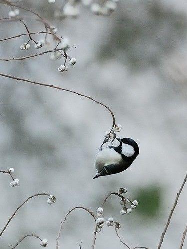 tiny #bird ~ Maine state bird, Chickadee