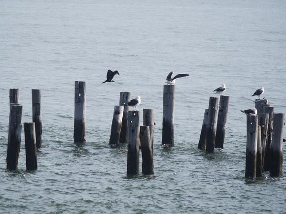 Ed Gaillard: birds &emdash; Great Cormorant and Great Black-Backed Gulls, Swinburne Island