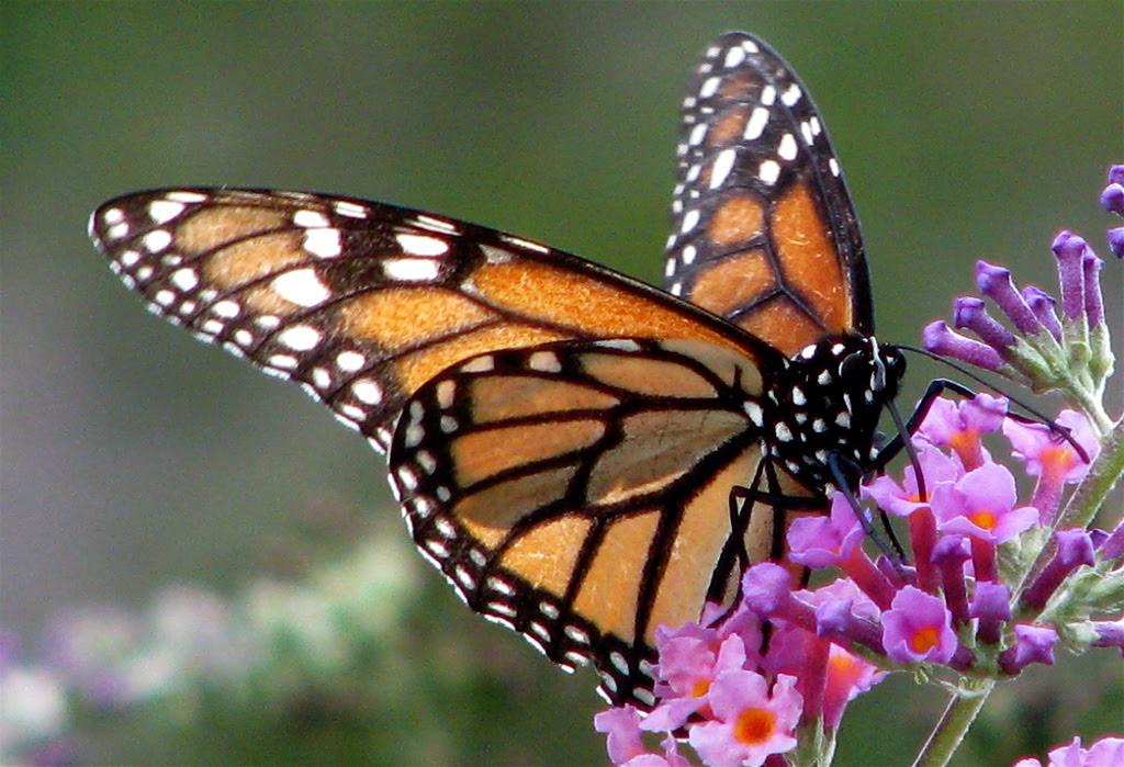http://booknvolume.files.wordpress.com/2013/10/monarch-eating-audreyjm529.jpg