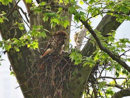 Riverside Mama Hawk