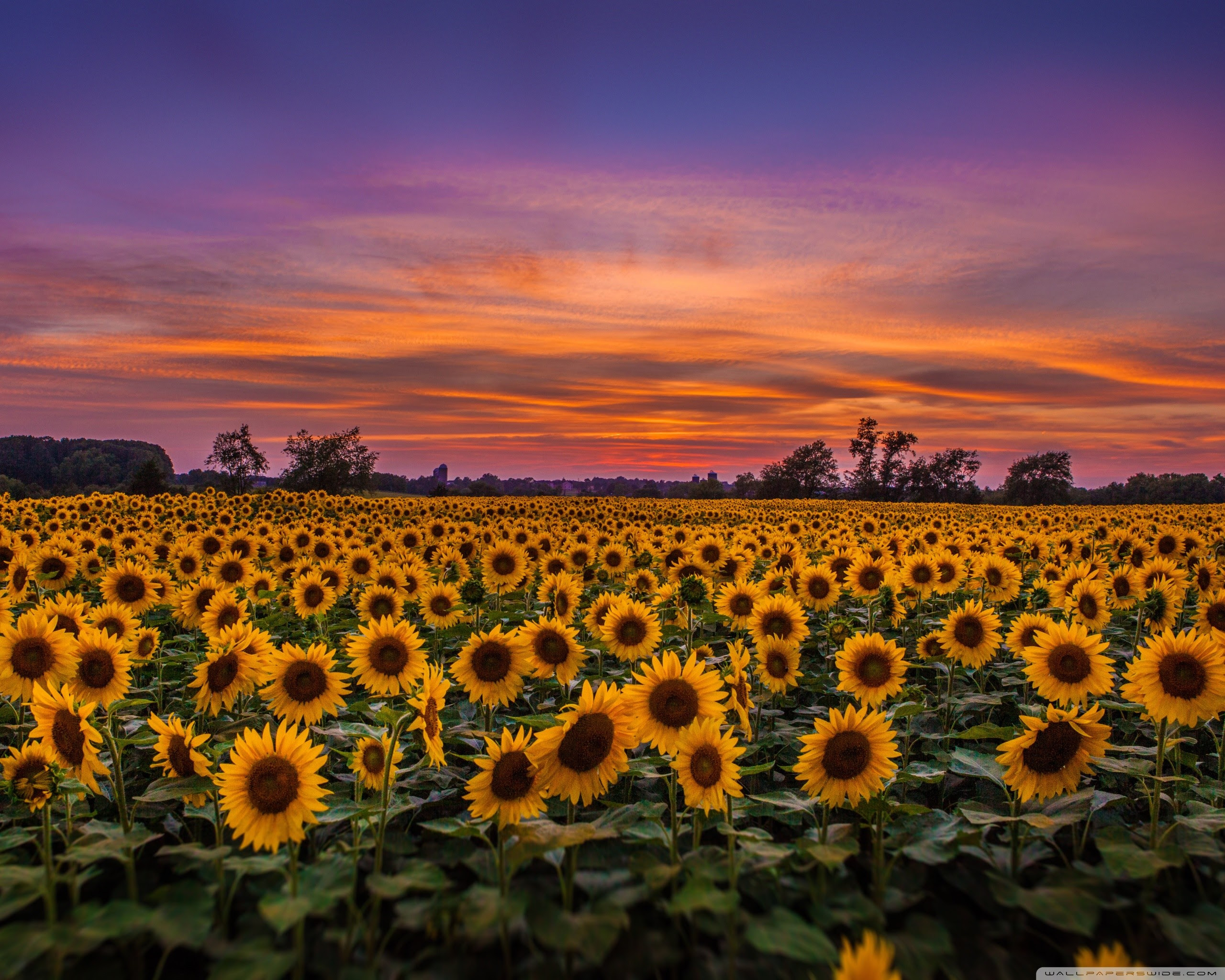 Sunflowers Wallpaper (61+ images)