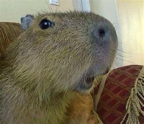Capy snout   Kapybaror   Pinterest