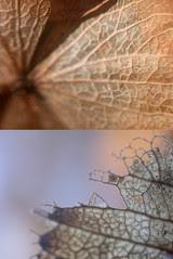 Hydrangea skeleton