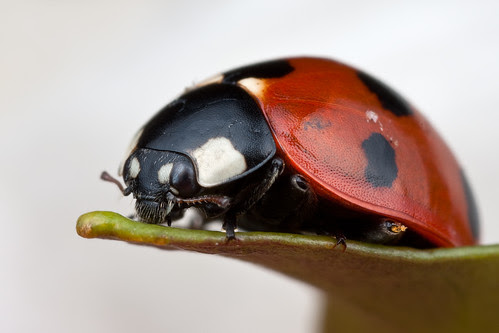 7-Spot Ladybird on White
