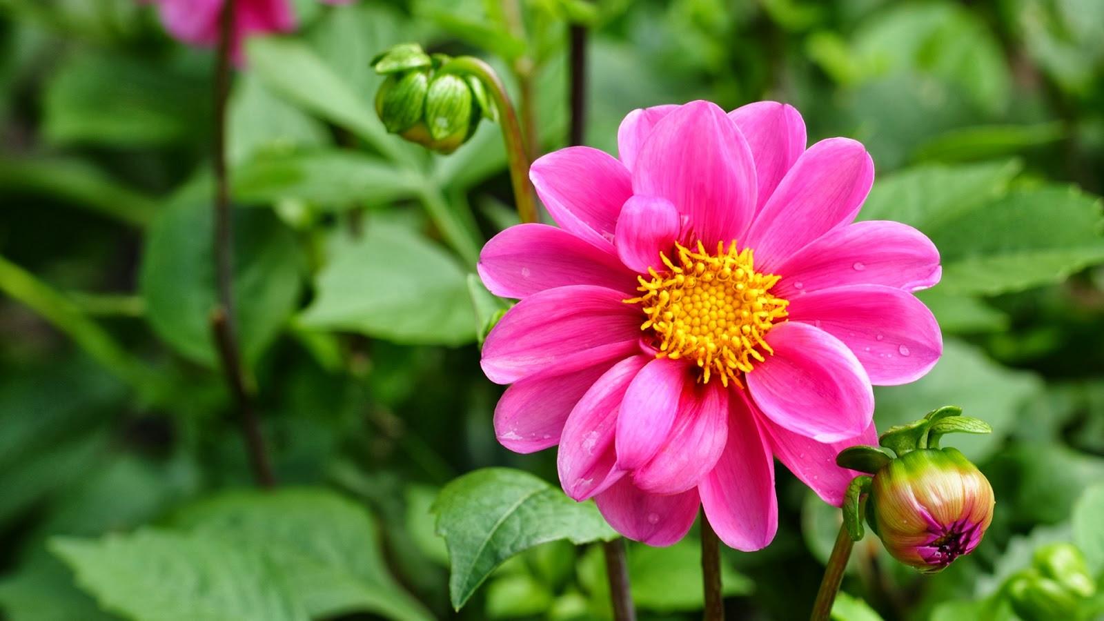 Gambar Bunga Sakura Jepang Yang Indah Pernik DuniaUnder Sakura