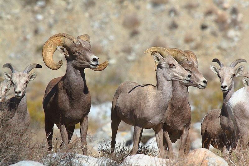 IMG_4829 Desert Bighorn Sheep, Whitewater Preserve, CA